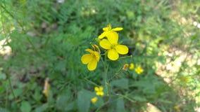 Mustard flower on grass wallpaper. Mustard flower image, yellow flower, natural beauty stock photography