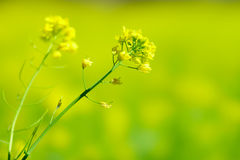 Mustard flower Stock Photography