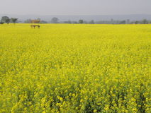 Mustard flower plants stock photography