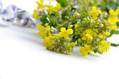 Mustard flower Stock Image