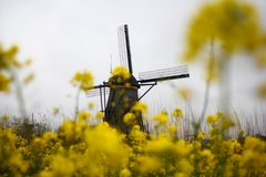 Mustard flower and windmil. Wild mustard flower and windmil village in cloudy day Stock Photos