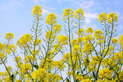 Mustard flowers Stock Images