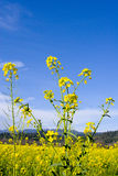 Mustard Flowers. Mustard field in Spring royalty free stock photos