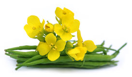 Mustard flowers with beans Stock Photo