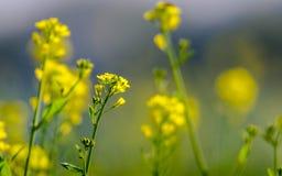 Yellow Mustard flowers Stock Photos