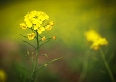 Mustard flowers Stock Image
