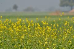 Mustard Flowers and Crop Stock Photos