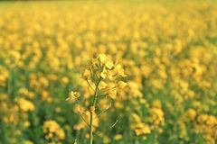 Mustard flowers in full bloom in mustard fields Stock Photo