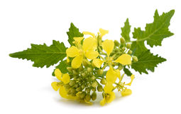 Mustard flowers. Isolated on white background royalty free stock photos
