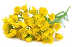 Mustard flowers Royalty Free Stock Photo