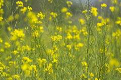 Yellow Mustard Flowers and Pods Royalty Free Stock Photography