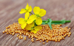 Mustard flowers with seeds Stock Images