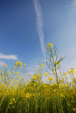 Mustard flowers and sky Royalty Free Stock Image
