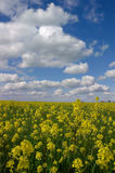Mustard Flowers, White Clouds Royalty Free Stock Photos