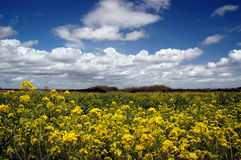 Mustard Flowers, White Clouds Royalty Free Stock Image