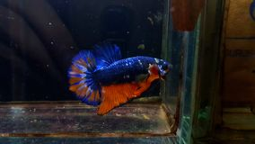 Mustard Gas Betta male royalty free stock photo