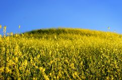Mustard Grass Royalty Free Stock Images