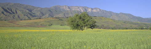 Mustard in green field and Topa Topa Bluffs, in Upper Ojai Valley, California Royalty Free Stock Images
