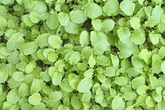 Mustard greens Royalty Free Stock Photos