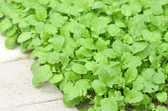 Mustard greens Stock Image