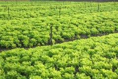 Mustard greens Stock Photography
