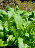 Mustard Greens In The Winter Garden Stock Image