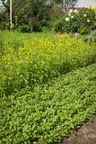 Mustard grows and will be used, as fertilizer Stock Photography