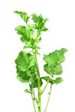 Mustard leaves Stock Photo