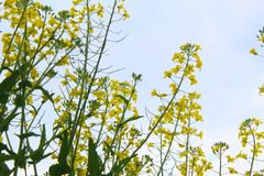 Mustard leaves standing tall in day time stock photo