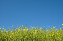 Mustard plant in blue sky Stock Photos