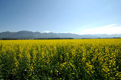 Mustard plant field. Field of yellow mustard plants set against mountains royalty free stock image