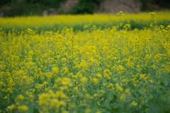 Mustard plant on field royalty free stock photos