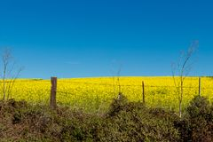 Mustard plant filling a field with a blue sky on highway one. Looking over a barb wire fence Stock Images