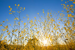 Mustard plant flowers against blue sky at sunrise Royalty Free Stock Image