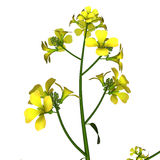 Mustard-plant Royalty Free Stock Photo