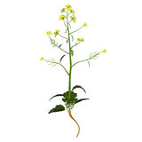 Mustard-plant Stock Image