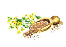 Mustard plant and seed. Hand-drawn watercolor illustration vector illustration
