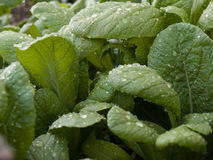 Mustard plants. Greens. Genera Brassica and Sinapis, Family Brassicaceae Stock Photo