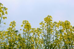 Mustard plants in farms in standing tall in day time stock photos