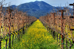 Mustard plants and grapevines. At a vineyard Stock Images
