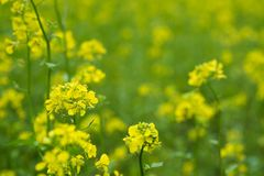 Beautiful yellow Mustard field in rural area. Mustard plants with green pods and beautiful yellow flowers at the farm Royalty Free Stock Photography