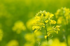 Beautiful yellow Mustard field in rural area Royalty Free Stock Photo