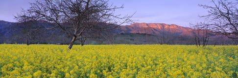 Mustard plants in a walnut grove. Stock Photos