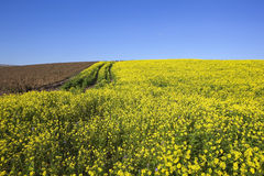 Mustard and potato crops Stock Image