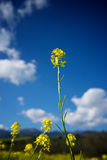 Mustard Profiled Against the Sky Royalty Free Stock Photo