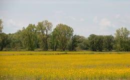Mustard seed farm in Northder Ohio stock photography