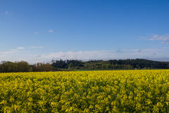 Mustard seed field Royalty Free Stock Photos
