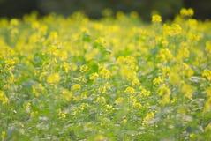 Mustard seed Royalty Free Stock Photo
