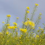 Mustard seed flower field and blue sky Stock Photo