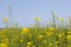 Mustard seed flower field and blue sky Royalty Free Stock Image